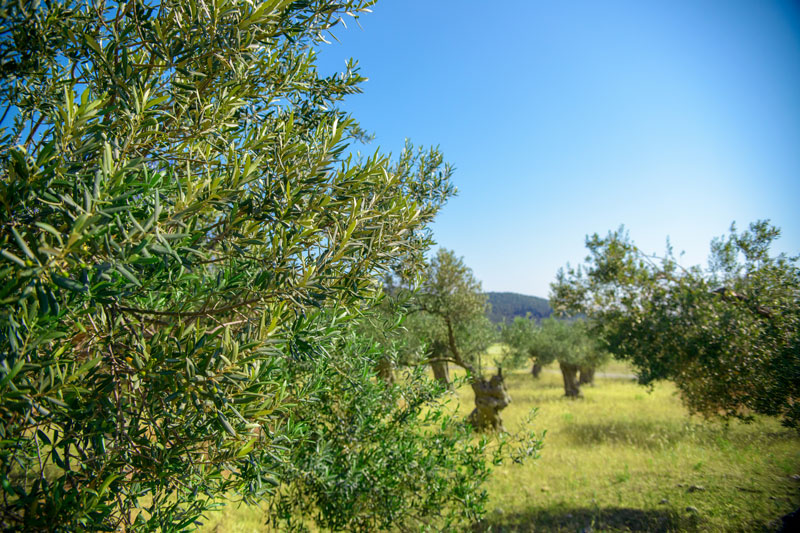 OLIVE OIL AND LESVOS