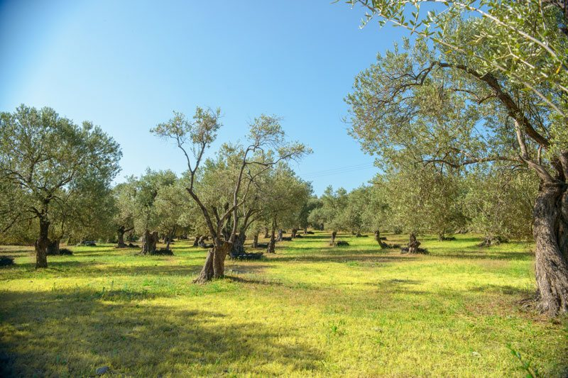 PRODUCTION PROCESS AND FACILITIES OF OLIVE OIL SAPFO